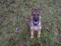 Teddy @ 8 Weeks Old! That's one cute German Shepherd Puppy! ♥