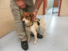 Kennel A1 Tag 367 male beagle mix Rel/euth 2/8  Cleveland County Animal Control is a high kill open intake county run facility.    All 501c3 Rescues interested in pulling from CCAC need to send copy of 501c3, vet refs, directors name and contact number, website, etc to pointerpal@aol.com Rescues may call Garrett Bender at 704 476 6765 Adopters need to call CCAC at 704 481 9884 Ext. 4 Cleveland County Animal Control is located at 1609 Airport Road in Shelby North Carolina