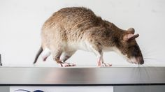 Rats can smell TB. They can identify it faster than a lab technician. And they work cheap — a bit of banana will do. USAID just gave a grant to a pioneering program.