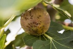 Common Fig Tree Pests – What To Do About Pests On Fig Trees Despite their ancient history, they are not without many of the same fig tree insect pests that plague the tree today. The key to fig tree pest control is learning how to identify common fig tree pests. The information in this article should help with that.