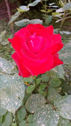 solita-rose in Rome Italy  http://www.just-commerce.net