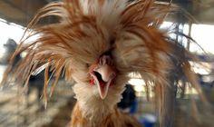 If I were a bird, I think I'd be a Polish Chicken :) *cluck*