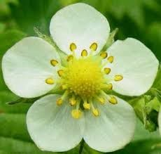 Strawberry flower -- several of these, along with the leaves. Fruit Flowers, Clay Flowers, Colorful Flowers, Wild Flowers, Planting Flowers, Beautiful Flowers, Strawberry Flower, Strawberry Plants, Flower Structure
