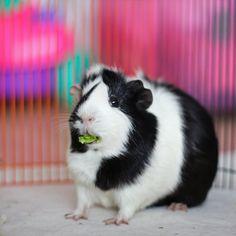 Guinea Pig (by astakatrin)