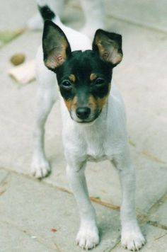 There is nothing sweeter than a Rat Terrier Pup