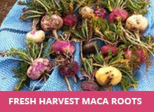Did You Know There Are 3 Types of Maca? Find Out Which One Is Best For You