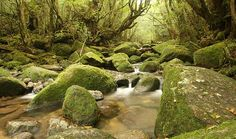 Yakushima. Island with cedar forests containing some of Japan's oldest living trees.