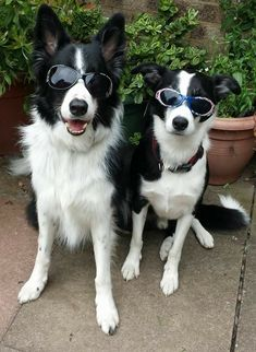 Elvis's dog has entered the building! Collie Puppies, Collie Dog, Dogs And Puppies, Doggies, Boarder Collie Puppy, Border Collies, Crazy Dog Lady, Cute Dogs, Awesome Dogs