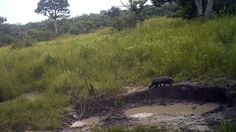 This honey badger don't care that it was caught by a camera trap in South Sudan. (FFI & Bucknell University) http://www.smithsonianmag.com/science-nature/rare-forest-elephants-seen-first-time-south-sudan-180957526/?utm_source=feedburner
