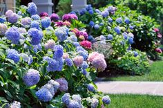 Amazing array of 35 hydrangea garden ideas in a collection of photographs. Inspiration for your hydrangea gardens. See them here.