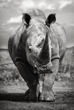 Wild Animals Pictures, Animal Pictures, Majestic Animals, Animals Beautiful, Nature Animals, Animals And Pets, Baby Animals, Rhino Tattoo, Realistic Animal Drawings