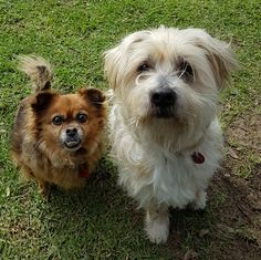Brother & sister duo                    * Bella ~ 7 year old female Chihuahua X      * Sheldon ~ 13 year old male Maltese X  ~ adopted 10.7.2016