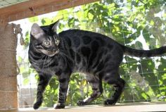 Charcoal Bengal Cat