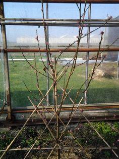 mijn perzikenboom