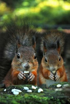 Family dinner - cute red squirrels