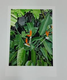 A2 size Limited Edition Print Bird of Paradise Plant