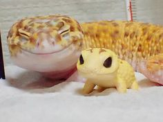 "wtbw:  ""(via This Gecko Can't Stop Smiling When He's Around His Toy Gecko, And Their Pics Will Make Your Day 