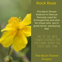 Bach Flower Essence Remedies.  Rock Rose one of the 38 Dr Bach Flower Essence Remedies.  This post contains just a little of the information that is on the Bach Flower Cards that have been created for Divination and Educational purposes.