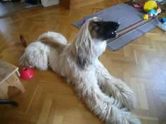 http://matssjodin.se    This is the dog of my sister who is very happy to sing when she plays the harmonica. The dog is a Afghan Hound and is two years old. Enjoy!