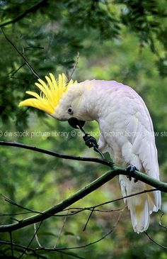 australian a white cockatoos | ... cockatoos, parrot, parrots, white, white cockatoo, white cockatoos