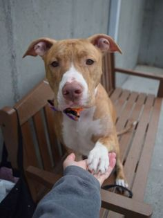 RETURN 1/12/17 TNR!! SUPER URGENT Brooklyn Center - SAFE❤️❤️ 10/25/16 Brooklyn Center HAZEL – A1093599 SPAYED FEMALE, BR MERLE / TAN, PIT BULL MIX, 1 yr OWNER SUR – ONHOLDHERE, HOLD FOR ID Reason NO TIME Intake condition EXAM REQ Intake Date 10/15/2016, From NY 11692, DueOut Date10/22/2016