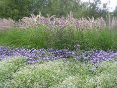 fuzzy pink plumes of fountain grass, Brazilian verbena, floss flower (Ageratum houstonianum 'Blue Horizon'), Euphorbia 'Diamond Frost' and Alyssum lobularia (Sweet alyssum)