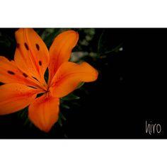 23 May . 2017  情熱のエゾスカシユリ  ユリは大人の雰囲気たっぷりですね✨  まるで私のよう・・・と言ってみたいものです����爆  Location:Chiba  #一眼レフ初心者 #一眼レフ練習中 #ファインダー越しの私の世界 #カメラ好きな人と繋がりたい #写真撮ってる人と繋がりたい #カメラのキタムラ #キタムラ写真投稿 #wp_flower #wp_japan #はなまっぷ #flowerstagram #flowerslovers #daily_photo_jpn #lovers_nippon_ #whim_life #team_jp_flower #total_flowers  #amazing_flowerz #flower_special_ #team_jp_東 #team_jp_ #canon #canonphotography #花 #flower #ユリ #千葉カメラ部 #房総 http://gelinshop.com/ipost/1520981647012895209/?code=BUbnL_cF5np