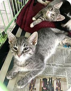 Tobis Adopt Or Foster Long Beach Humane Society Adoption