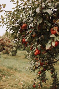 Apple Garden, Fruit Garden, Autumn Aesthetic, Beige Aesthetic, Photo D Art, Fall Pictures, Anne Of Green Gables, Apple Tree, Love Design