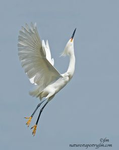 Soaring Snowy Egret. Wildlife and bird photography by nature photographer Judylynn Malloch
