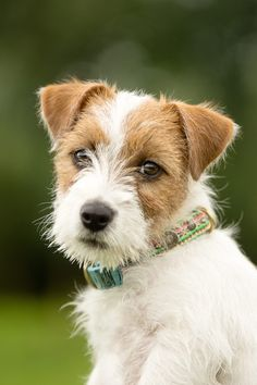 Wire hair JRT