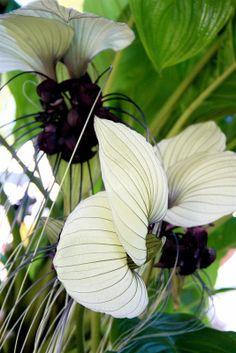 Mount Dora plant festival, flower, White Bat Flower, Betsy Arvelo