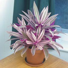 Variegated Moses in the Cradle (Tradescantia spathacea variegata) - Indoor and Windowsill House Plants - Indoor Plants Succulents Garden, Garden Plants, Indoor Plants, Planting Flowers, House Plants Decor, Plant Decor, Exotic Plants, Tropical Plants, Plante Crassula