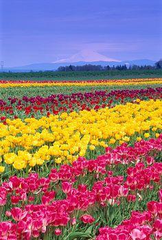 Field of tulips, Oregon