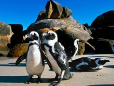 Boulders Beach - two penguins post for the camera