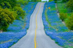 Bluebonnets along a road in TX