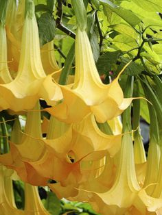 Angel's trumpet* Huge pendulous flowers on stalks up to 15 feet tall give any garden a tropical look. Available in a range of pastel colors. Plant in full sun in moist, rich, well-drained soil. USDA Hardiness Zones: 9 to 11  I have these, they are so beautiful.