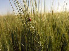El trigo y ella. Herbs, Plants, Pictures, Herb, Plant, Planets, Medicinal Plants