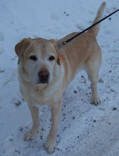 Weare, NH - We're just getting to know this 9-year-old yellow Lab, who came to us because of a divorce. His age notwithstanding, Moka is a very active, strong dog who is up for anything you want to do. A very social guy, somehow everyone who meets him falls in...