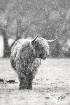 Highland cow- Will always be my favorite animal!