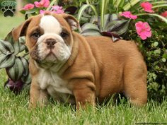 English Bulldog Puppies For Sale In PA