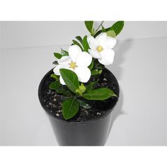 Find Plant Gardenia Fragrant Star 1.5L at Bunnings Warehouse. Visit your local store for the widest range of garden products.