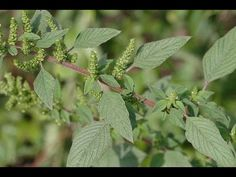 "Useful Plant: Amaranth - How to ""pop"" it."