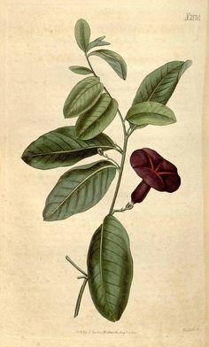 9155 Argyreia pierreana Bois [as Ipomoea atropurpurea (Wall.) Choisy] / Curtis's Botanical Magazine, vol. 47: t. 2170 (1820) [n.a.]