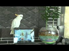 This Is So Funny A Cockatoo Singing Gangnam Style