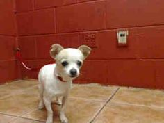LOOK HOW CUTE! PLEDGES AND RESCUE NEEDED BEFORE SHE GETS SICK! A4793271 I don't have a name yet and I'm an approximately 3 month old female chihuahua sh. I am not yet spayed. I have been at the Downey Animal Care Center since January 20, 2015. I will be available on January 24, 2015. You can visit me at my temporary home at D509. https://www.facebook.com/photo.php?fbid=800461386700862&set=pb.100002110236304.-2207520000.1421958598.&type=3&theater