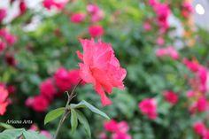 miss rose