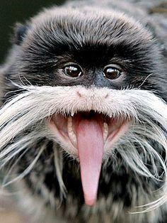 tamarin apen monkeys emperor monkeys animals you ve animal tongue Primates, Mammals, Unusual Animals, Rare Animals, Animals And Pets, Monkeys Animals, Strange Animals, Funny Animal Pictures, Cute Funny Animals