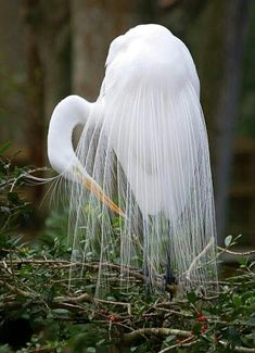 Girly Me - (via Nature - Beautiful Birds / Egret) Kinds Of Birds, All Birds, Love Birds, Pretty Birds, Beautiful Birds, Animals Beautiful, Simply Beautiful, Beautiful Things, Exotic Birds