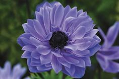 Anemone Devotion Blue